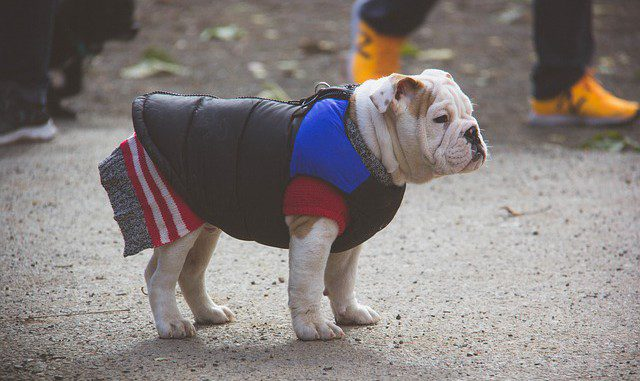 english-bulldog-2432219_640